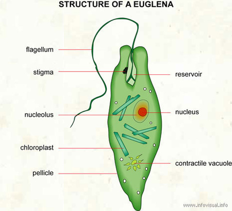 Structure function euglena ccuart Choice Image